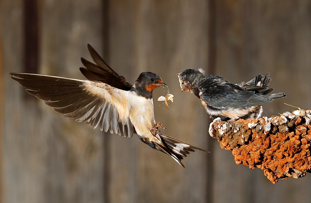 Barn Swallow flying and feeding her brood- Spain