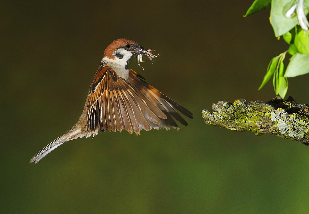 Eurasian Tree Sparrow flying with its prey, Spain