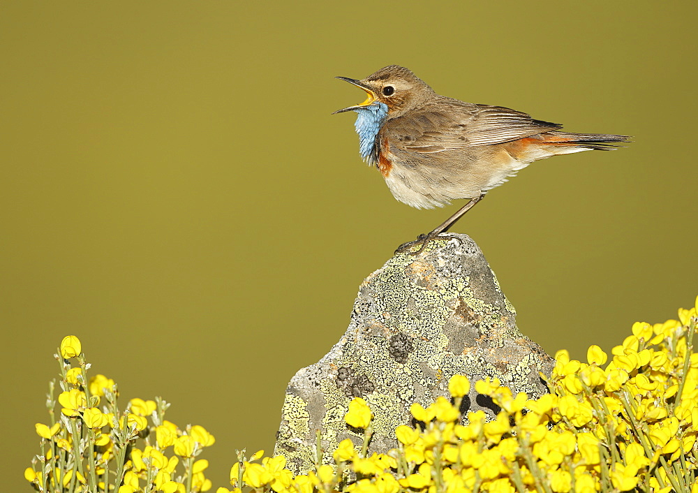 Bluethroat male singing on a rock, Spain