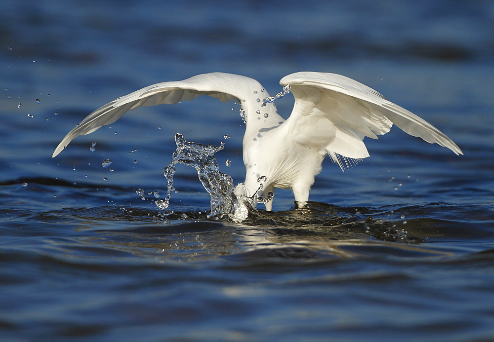 Little Egret fishing in water, Spain