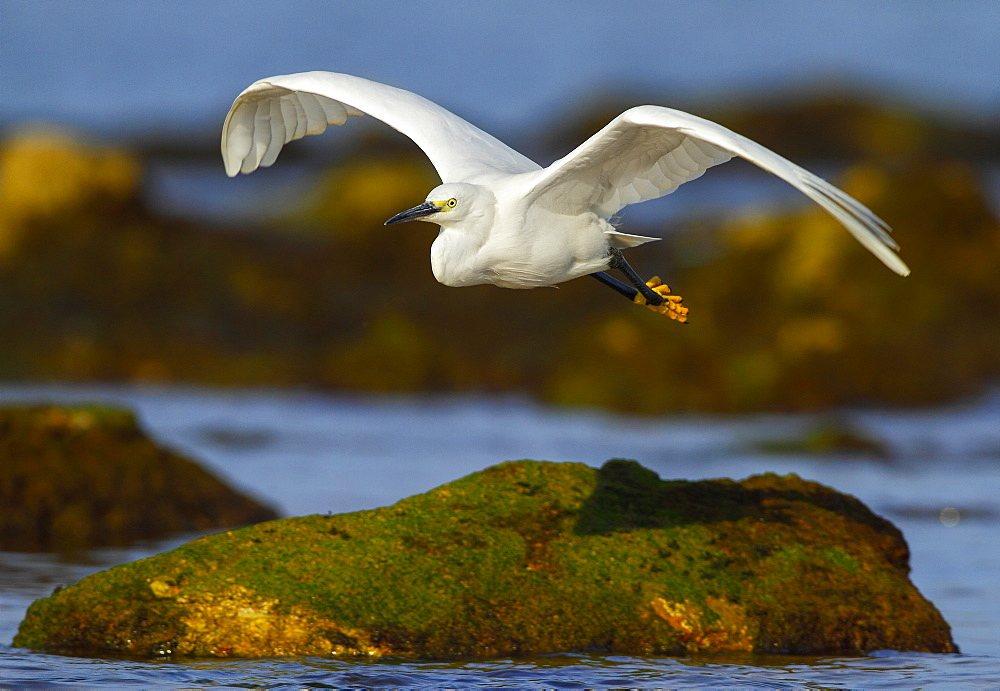 Little Egret fishing in flight, Spain