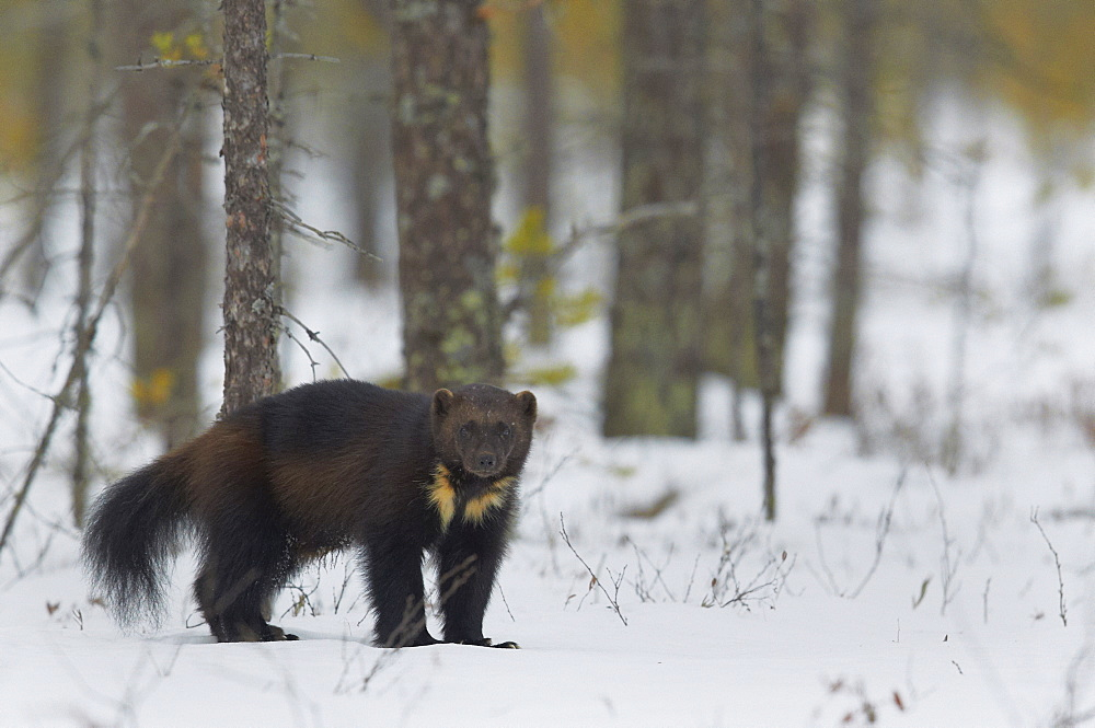 Wolverine standing on snow in woodland wetlands, Finland