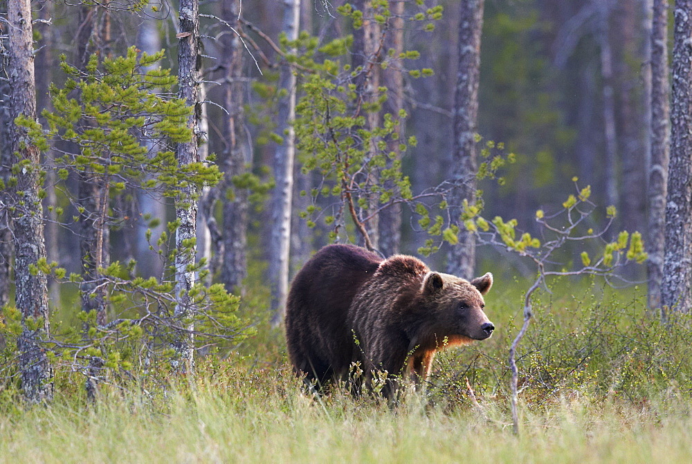 Brown Bear out of forest, Finland