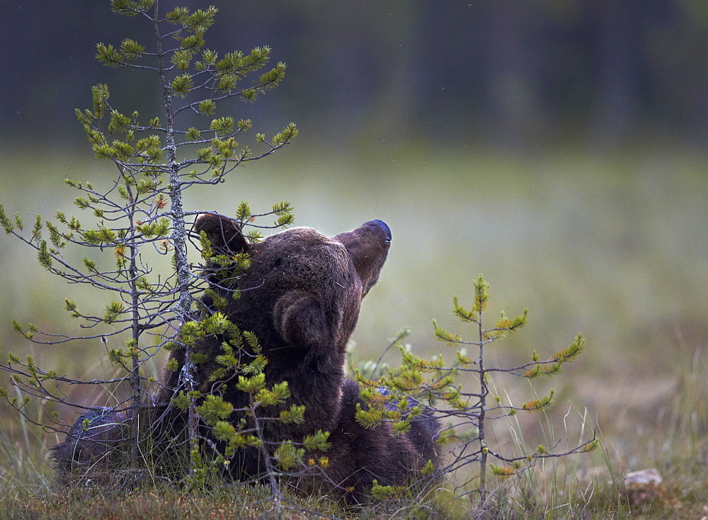 Brown Bear lying in a clearing, Finland