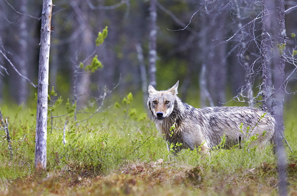 Grey Wolf out of forest, Finland