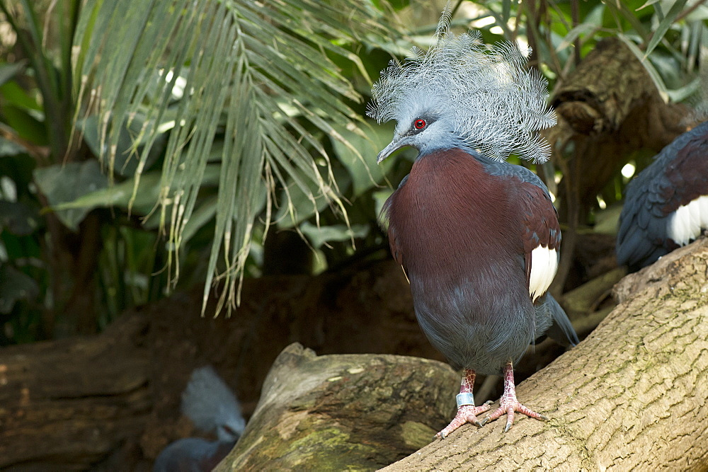 Southern Crowned Pigeon on a branch