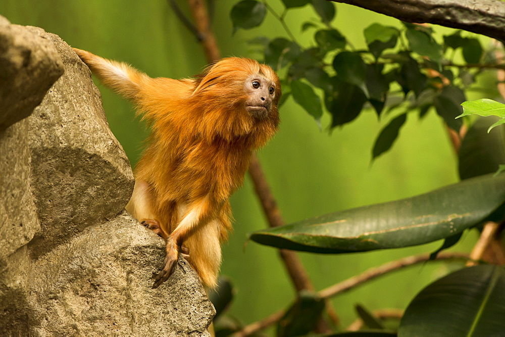 Golden Lion Tamarin on a rock