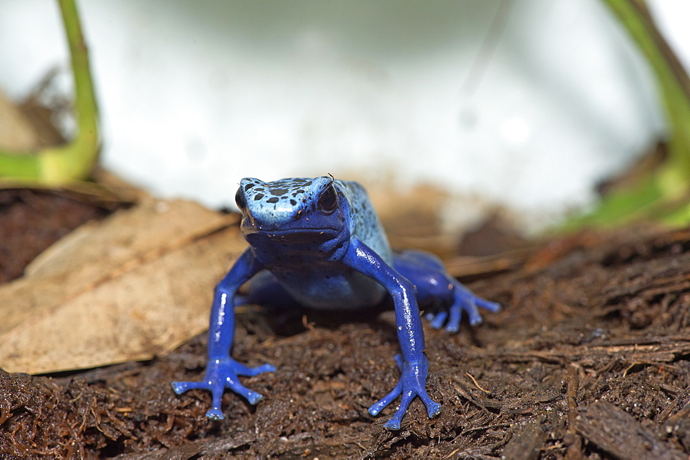 Blue Poison Frog on earth