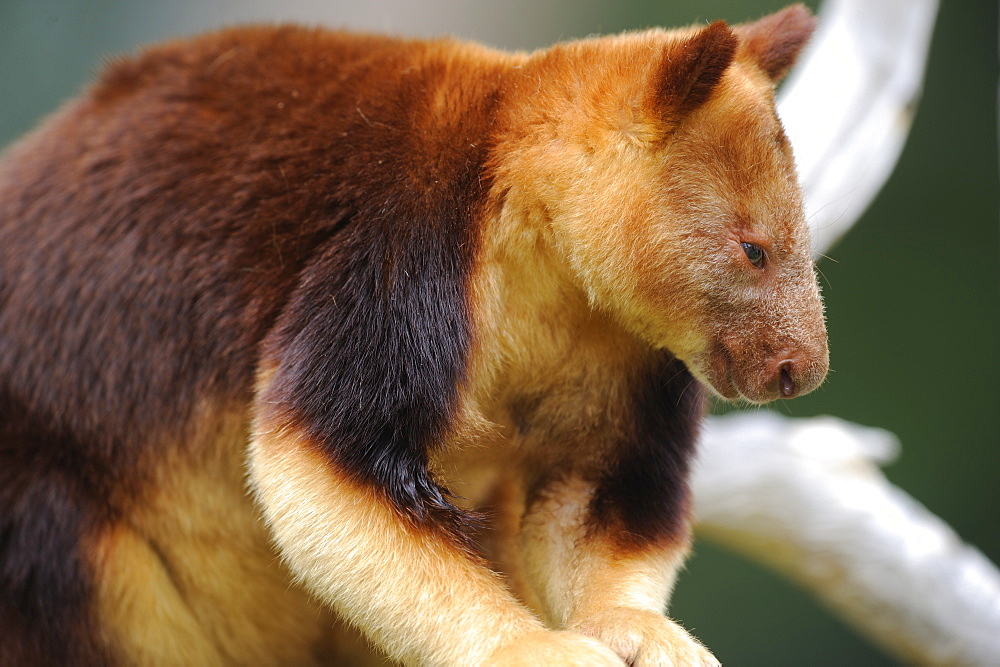 Tree kangaroo Goodfellow, Australia