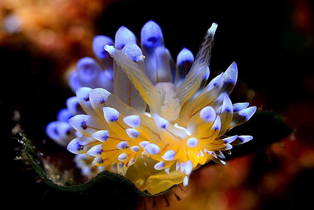 Sea Slug in reef, Mediterranean Spain