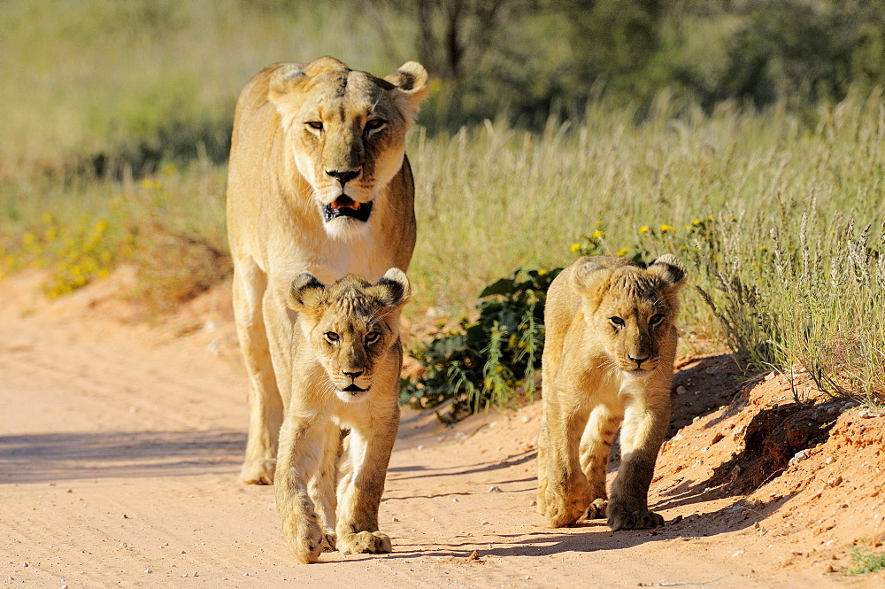 Lioness and cubs on track, Kalahari Desert Kgalagadi