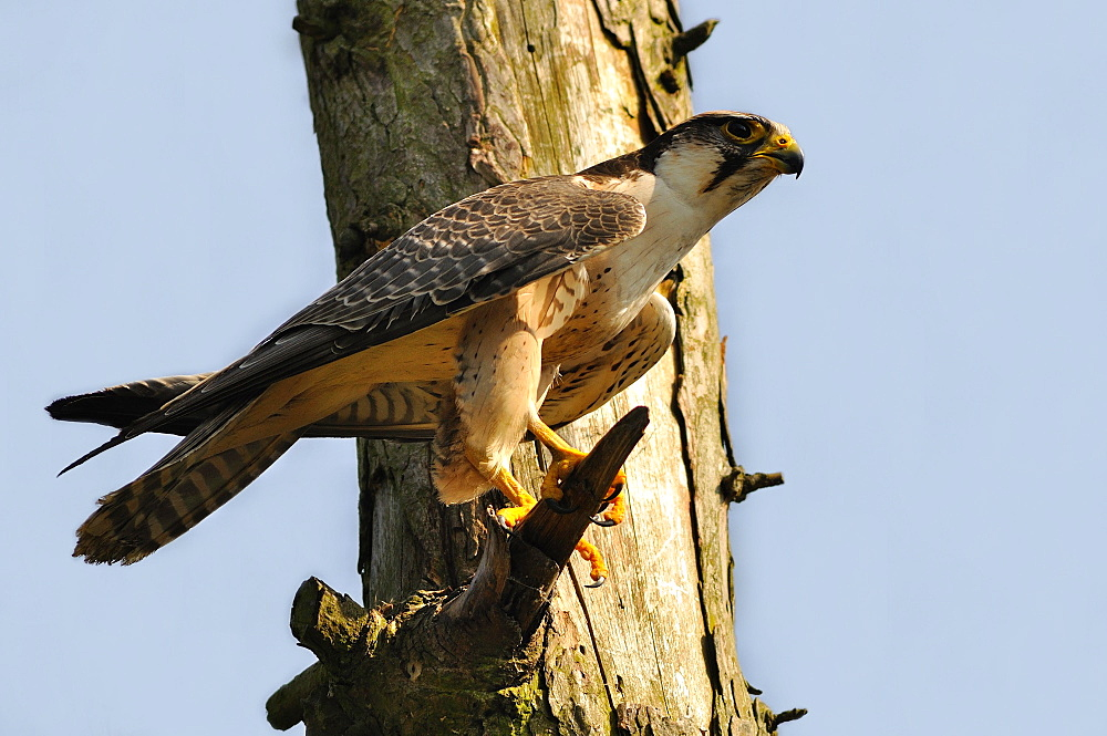 Peregrine Falcon on a dead tree, France