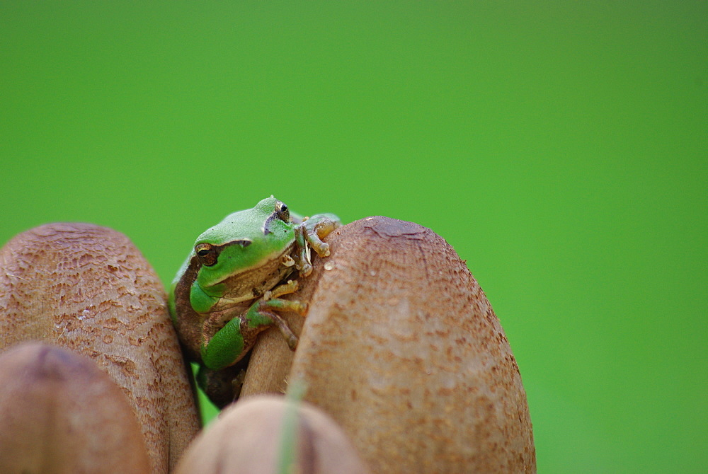 Green tree frog on Mushrooms, Ile d'Oleron France