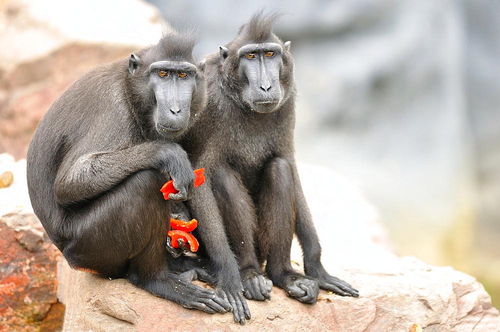 Tonkean Black Macaques eating fruit, Pairi Daiza Belgium