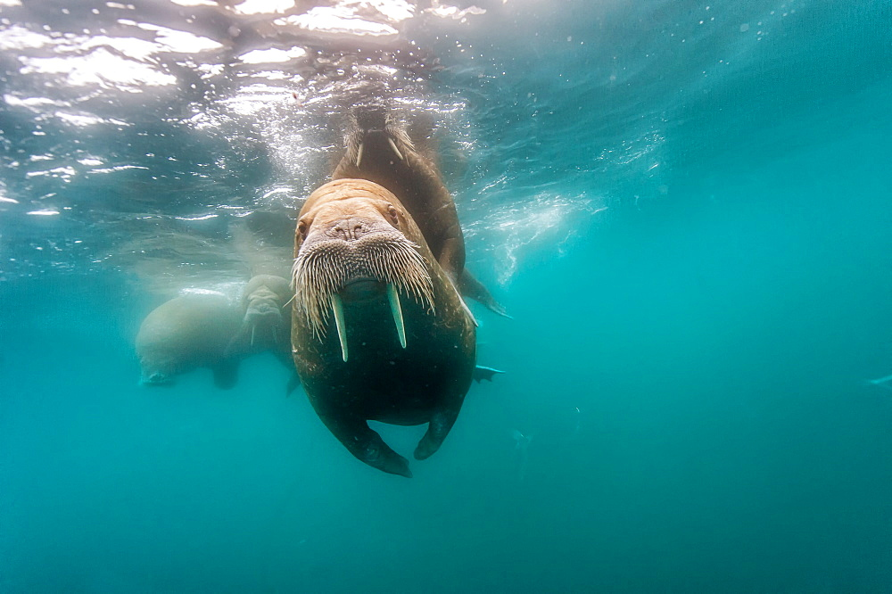 Walrus swimming under the surface, Arctic Ocean