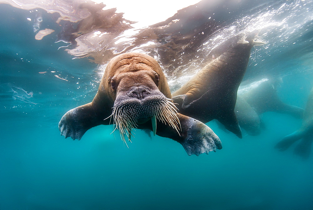 Walrus swimming under the surface, Arctic Ocean - 860-285669