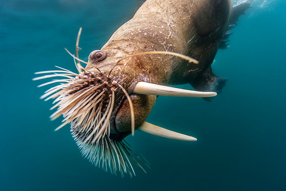 Portrait of Walrus swimming underwater, Arctic Ocean