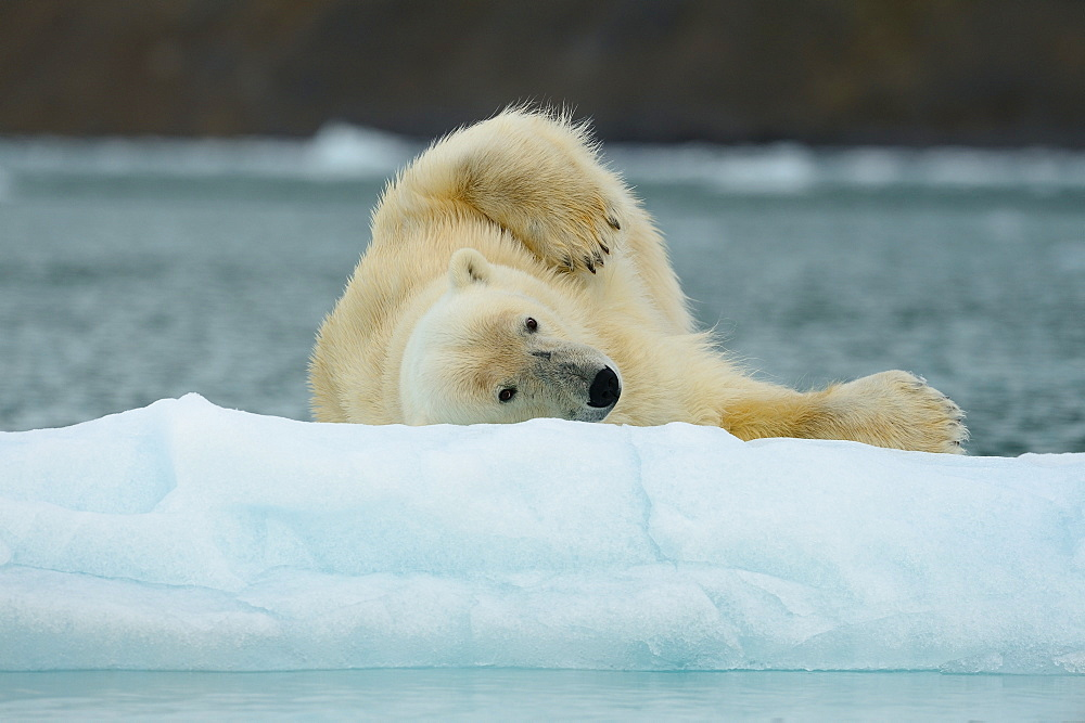 Polar bear rolling on the ice, Arctic