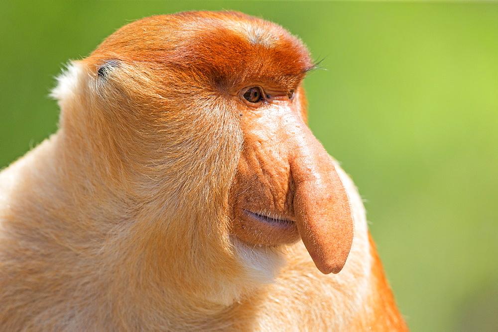 Proboscis Monkey male, Labuk Bay Sabah Borneo Malaysia - 860-285682
