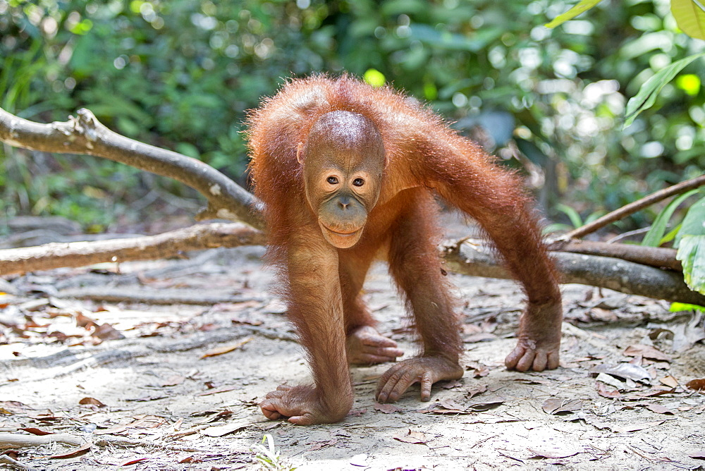Young orangutan walking on ground, Sepilok Borneo Malaysia