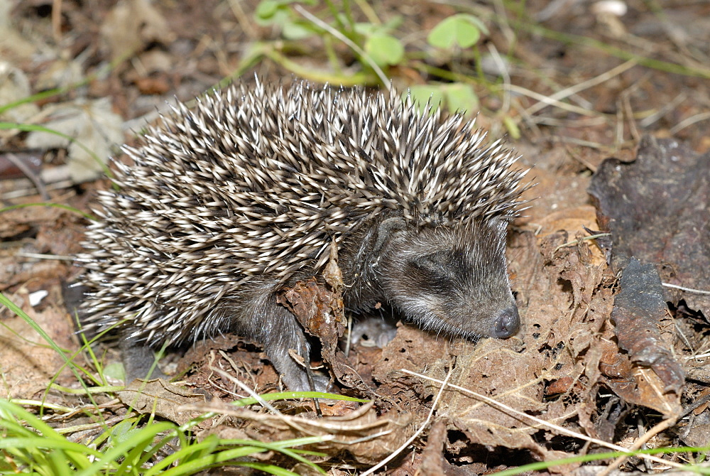 Young Hedgehog sleeping on dead leaves, Corsica France