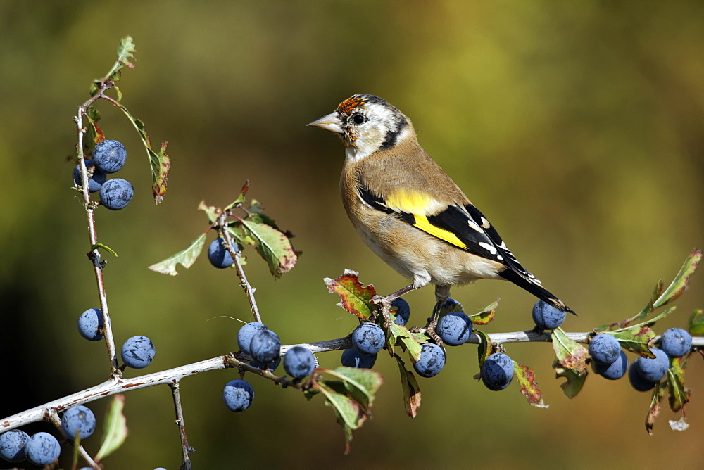 Goldfinch on sloe berries, Midlands UK