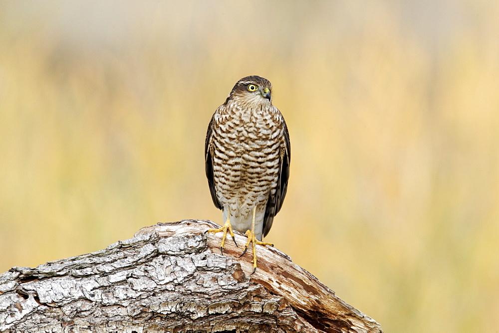 Eurasian Sparrowhawk on a branch, Midlands UK