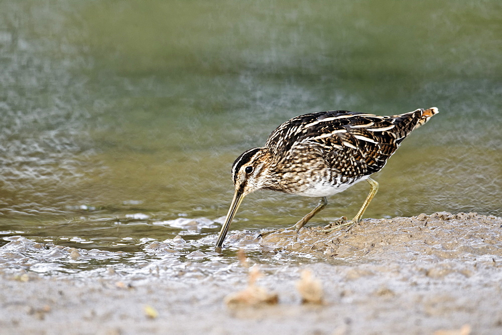 Common Snipe by water, Midlands UK