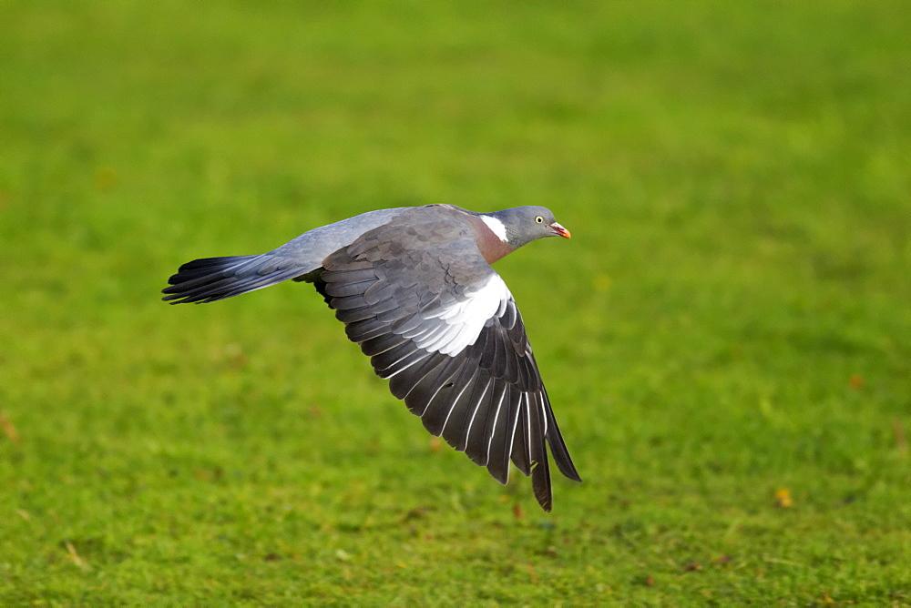 Wood pigeon in flight, Midlands UK
