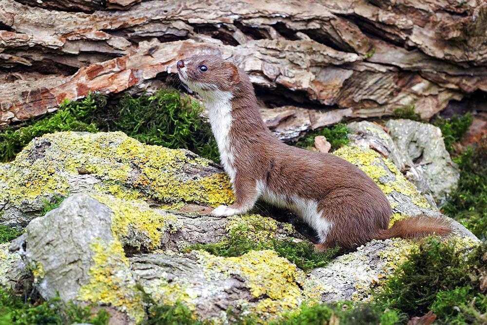 Weasel on rock, Midlands UK