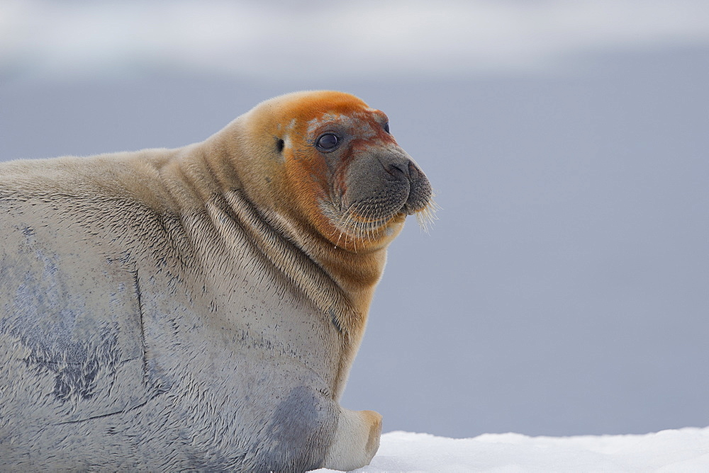 Portrait of Bearded seal on ice,  Barter Island Alaska USA