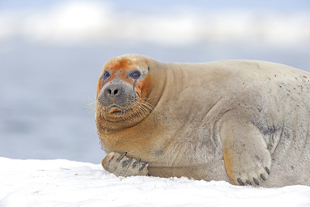 Portrait of Bearded seal on ice,  Barter Island Alaska USA