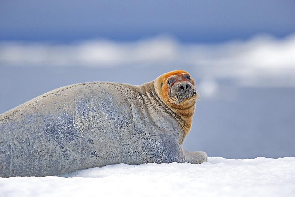 Bearded seal at rest on ice, Barter Island Alaska USA