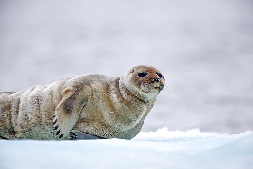 Ringed seal at rest on ice, Barter Island Alaska USA