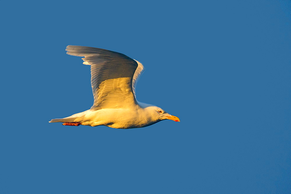 Glaucous Gull in flight, Barter Island Alaska USA
