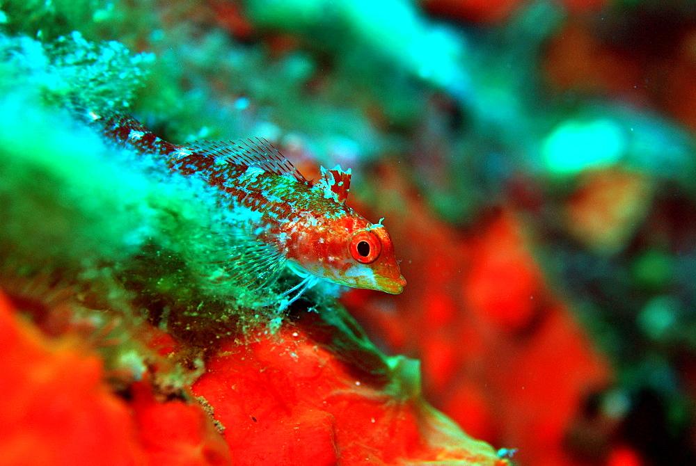 Black-faced Blennie female in the reef, Mediterranean Sea