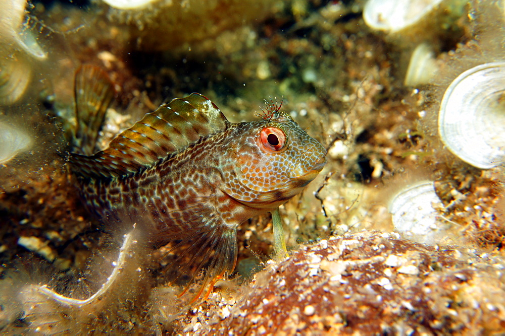 Ringneck Blennie on reef, Mediterranean Sea France