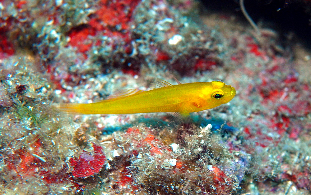 Golden Goby in the reef, Mediterranean Sea France