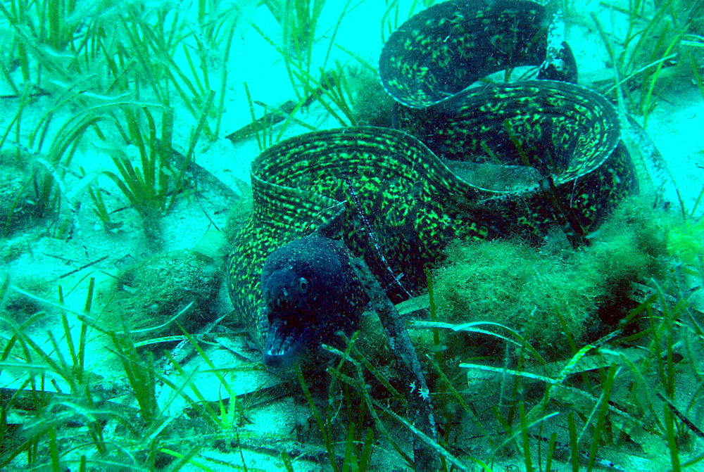 Mediterranean Moray in seagrass, Mediterranean Sea France
