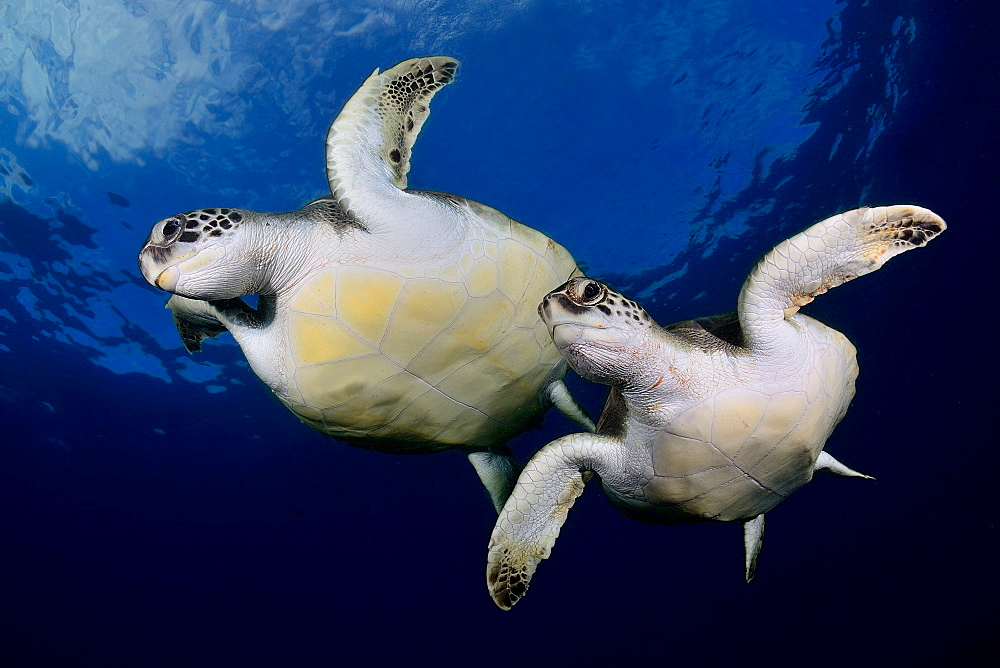 Green sea turtles under the surface, Canary islands