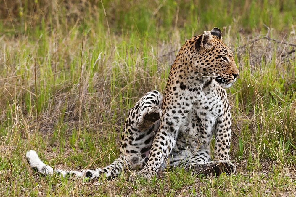 Leopard sitting in grass, Khwai Okavango Delta Botswana
