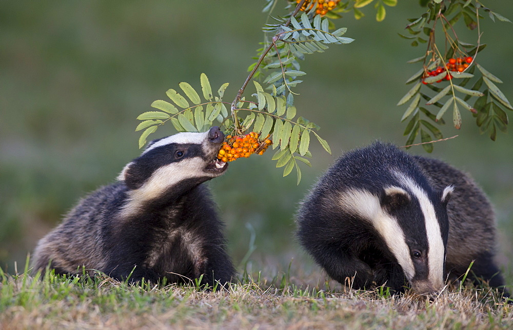 Badgers eating rowan berries in summer GB