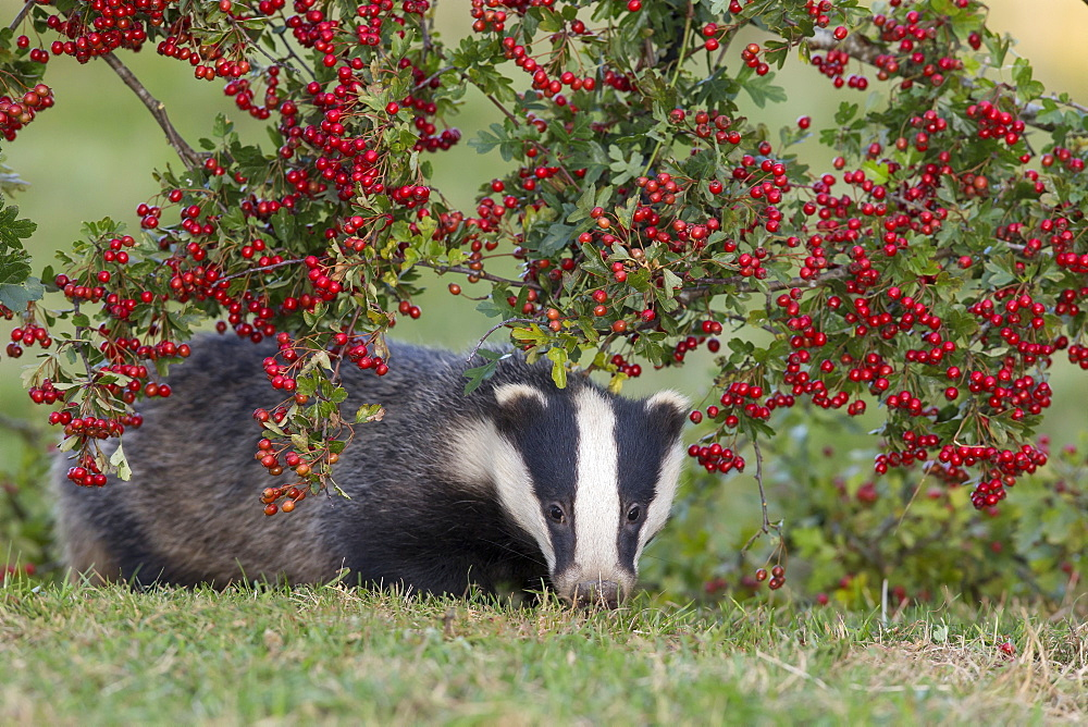 Badger under a hawthorn bush in summer GB