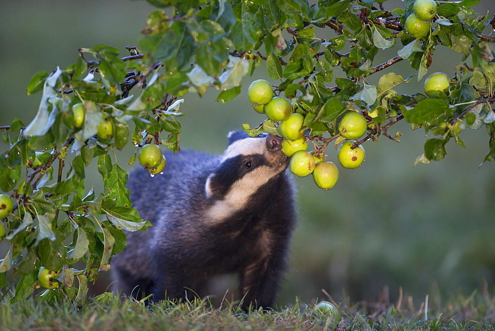 Badger eating crabapple in summer GB