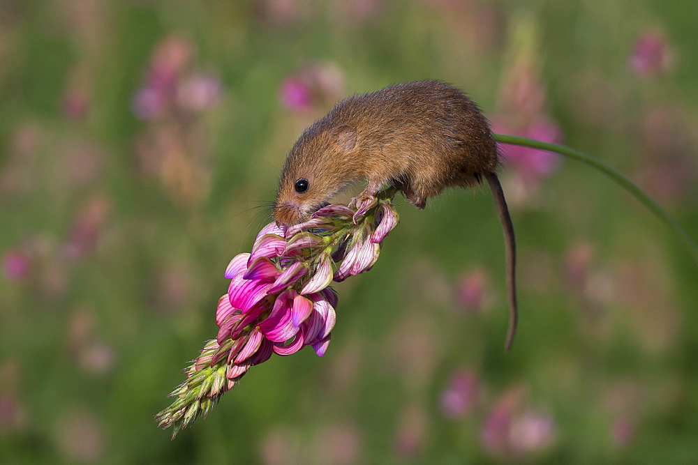 Harvest mouse on a flower in summer GB