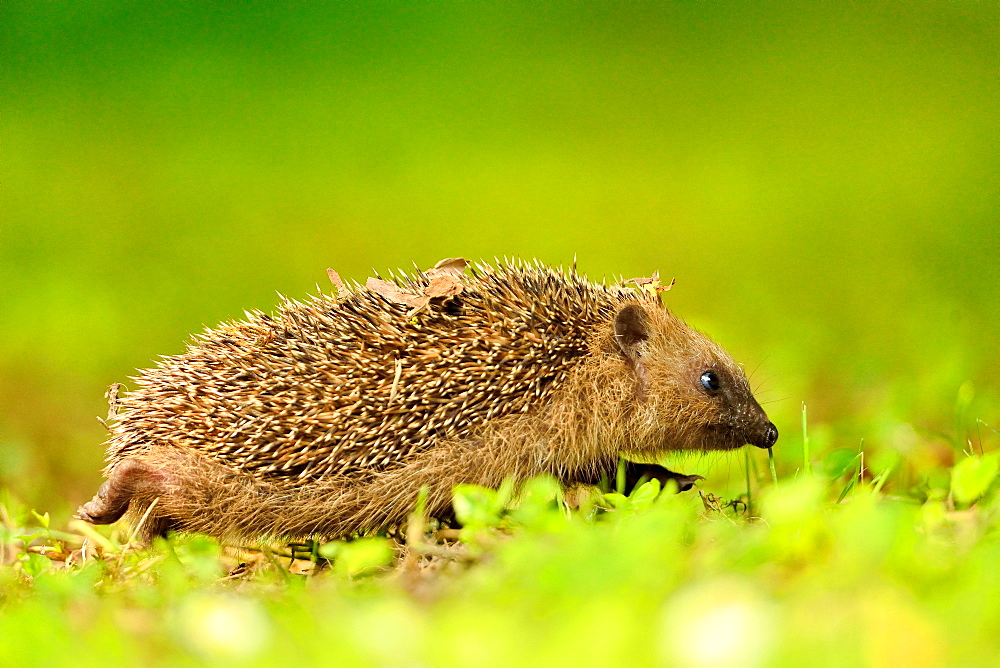European hedgehog walking in the grass, Burgundy France