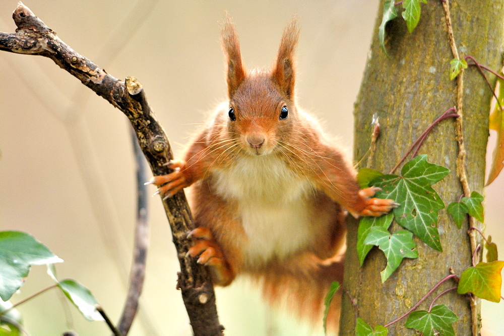 Red squirrel between two trunks, Ile-de-France France