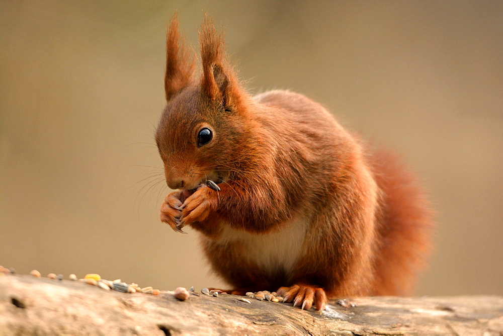 Red squirrel eating seeds, Finland