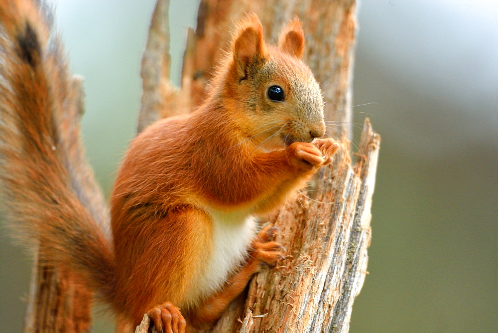 Red squirrel eating on a tree trunk, Finland