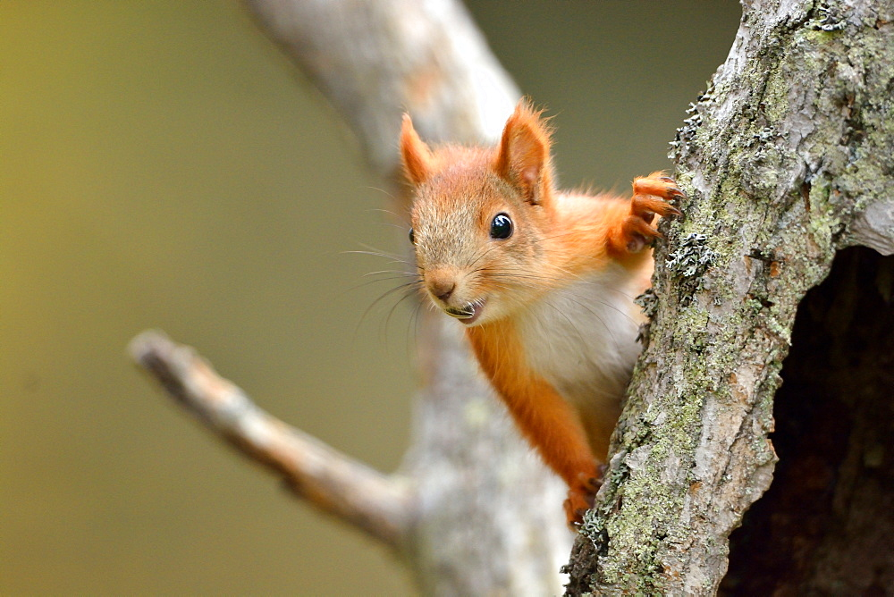 Red squirrel on a tree trunk, Finland